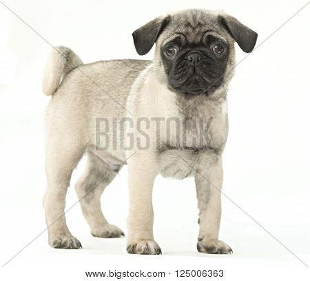 Fawn pug puppy dog isolated on a white background.