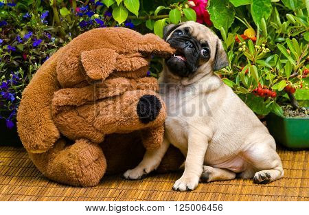Fawn pug puppy playing with stuffed animal.