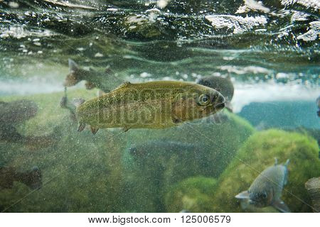 Several brown trouts or salmo trutta between bubbles of river bed
