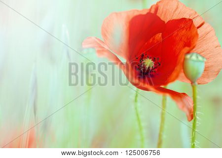 red poppy flower meadow. macro or close up of beautiful field wildflower Papaver rhoeas. Deep vibrant summer colours.