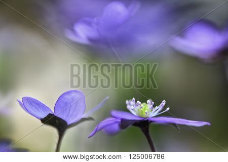 blue wildflower abstract, spring wild flower, Hepatica nobilis. Liverwort or liverleaf is a small wildflower. Shallow depth of field makes the background abstractand delicate and fragile.