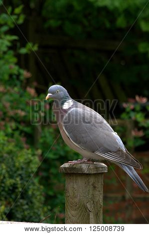 Wood pigeon perched on a wooden fence post.