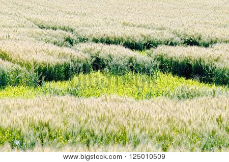 Yellow field of wheat at summer day