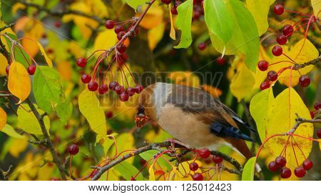 grosbeak migratory bird season autumn winter color blue