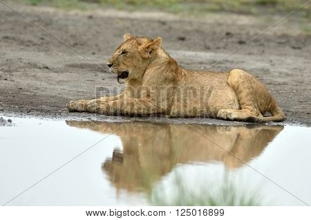 Lion resting by the water, Serengeti Tanzania East Africa