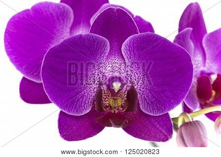 Purple orchid flower belonging to the Orchidaceae a diverse and widespread family of flowering plants