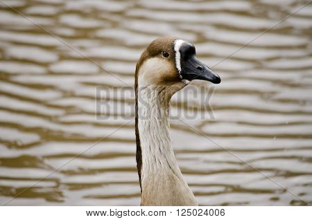 this is a close up a Canadian goose