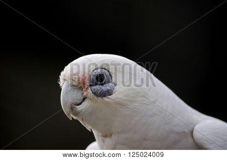 this is a close up of a short beak corella