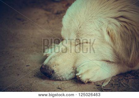 Dog sleeping on  ground.Sleep dog , yellow labrador is so sleepy
