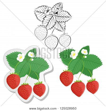 Strawberry plant and berries set. Collection of color contour and sticker strawberries. Vector strawberries set isolated on white background. Fruit and berries design element