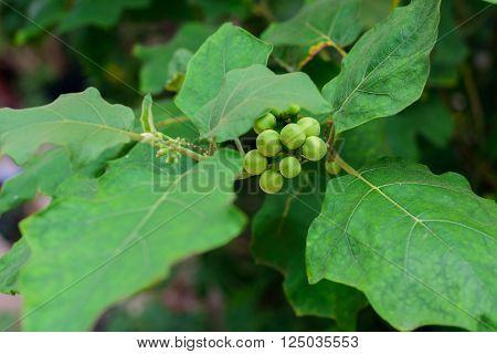 Solanum torvum or turkey berry on the tree