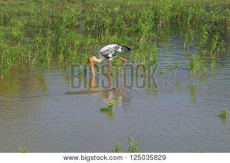 The crocodile swims up to the Indian Marabu. Yala national Park, Sri Lanka
