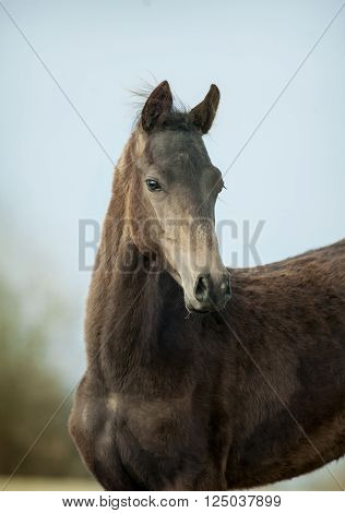 The portrait of an akhal-teke colt closeup