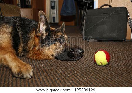 Big German Shepherd Dog In The Room