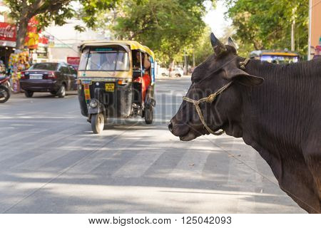 UDAIPUR INDIA - 20TH MARCH 2016: A cow at the side of a road in Udaipur India. A Tuk Tuk Rickshaw can be seen on the road.