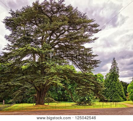 Big old Cedar tree in Park of Audley End House in Essex in England. It is a medieval county house. Now it is under protection of the English Heritage.
