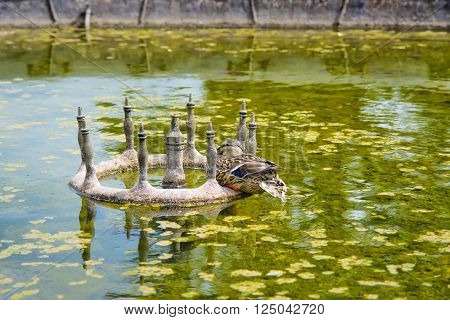 duck in the Pond of Audley End House in Essex in England. It is a medieval county house. Now it is under protection of the English Heritage.
