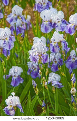 Purple And White Iris In Kitchen Garden In Audley
