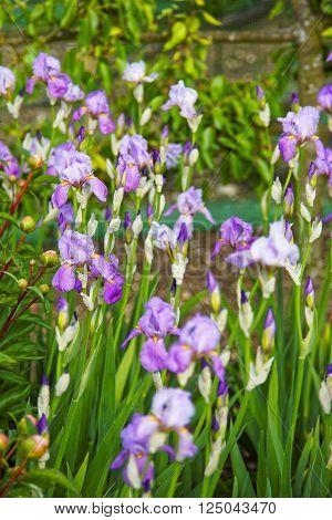 Violet Iris In Kitchen Garden In Audley