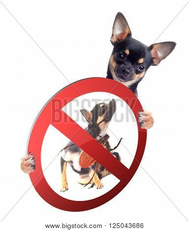 Cute Chihuahua dog be aware of ticks, isolated on white background