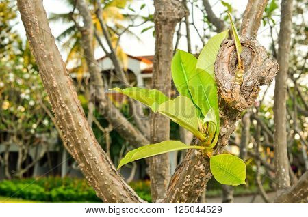 Plumeria Rubra Linn(Frangipani) leaves on the tree in sunlight, With place for your text