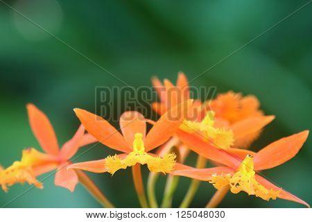 Orange Epidendrum Cinnabarinum Orchid in full bloom