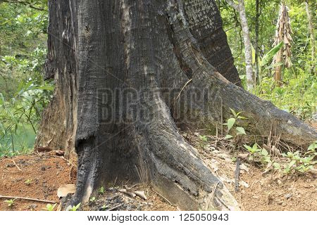 The rest of the ironwood trees burned in borneo
