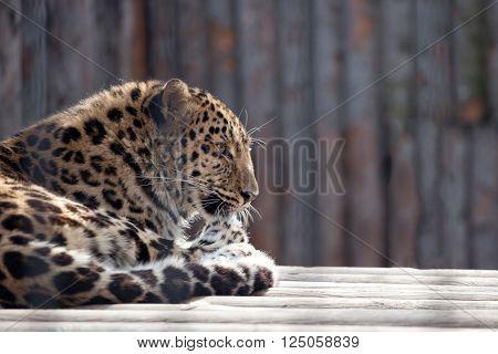 Amur leopard (Panthera pardus orientalis) licking paw lying