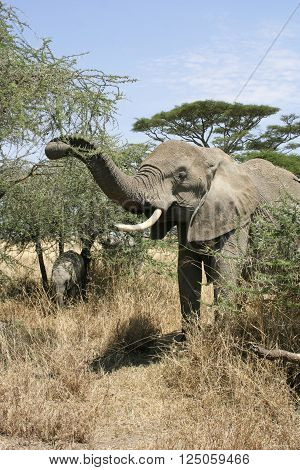 An elephant cow and tiny calf graze on the thorn bush in the savannah of the Serengeti National Park the Tanzania's largest and most famous reserve.