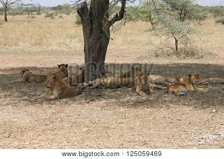 Young lions relax in the shade of a tree after a kill on the savannah of Serengeti National Park Tanzania Africa. The Serengeti is home to one of the most diverse wild animal populations on Earth and one of the best places on the continent to view lion pr