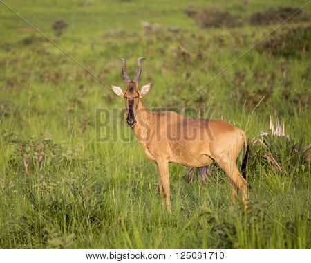 Lichtenstein's Hartebeest in the Murchison Falls National Park in Uganda, Africa