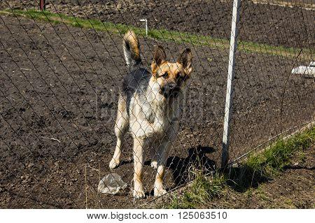 Big dog breeds German Shepherd dog is behind a fence