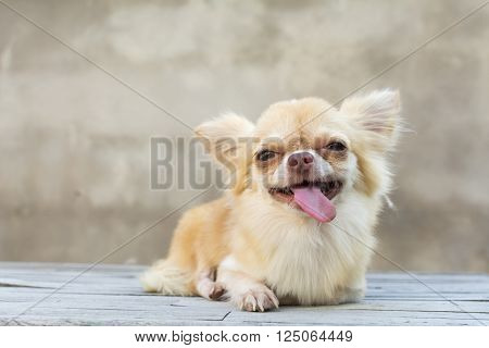 Small Body Brown Chihuahua Dog Sitting On Wood Table