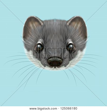 Cute face of grey stoat on blue background.