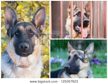collage of photos set portrait of a German shepherd closeup ** Note: Soft Focus at 100%, best at smaller sizes