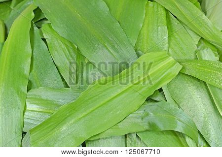 Leaves of wild garlic (Allium ursinum) green