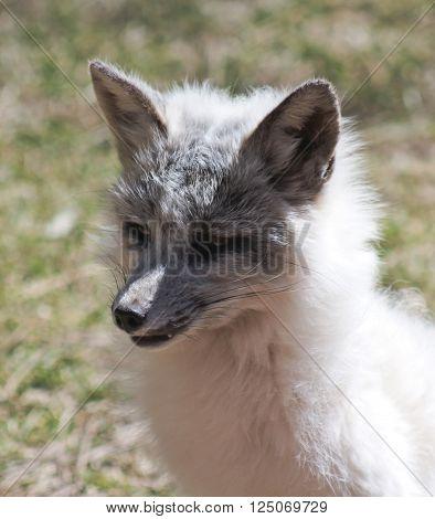 A Close Up Portrait of a Sitting Arctic Fox Alopex lagopus