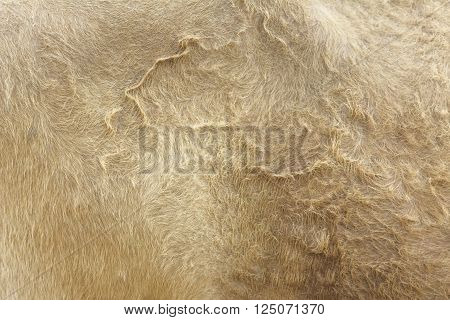 Close Up Light Brown Cow Fur Background