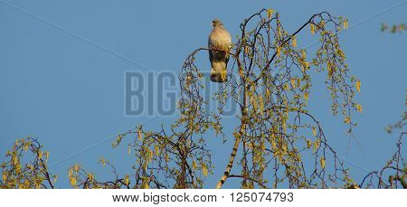 Dove on a branch of birch on a background of blue cloudless sky