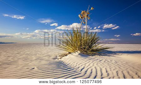 Yucca plant on the sand dunes in White Sands National Monument in New Mexico