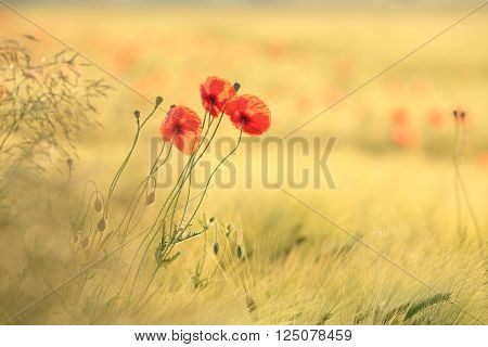 Poppies in the field at dawn. Poland
