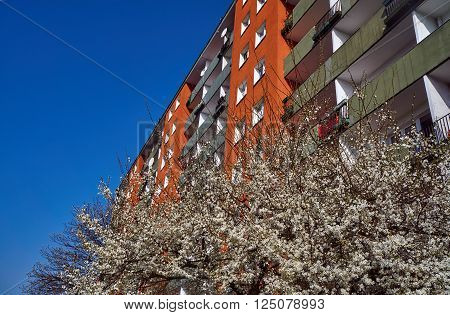Tree with white flowers in the spring against the facade of a modern residential building in Poznan