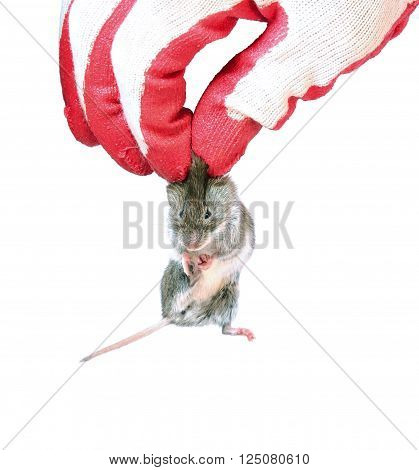 Grey mouse holding by the scruff in hand disinfectant worker in the glove closeup isolated