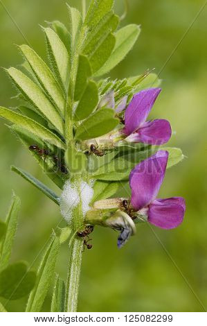 Common Vetch - Vicia sativa Two flowers & Leaf