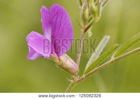 Common Vetch - Vicia sativa Single flower closeup