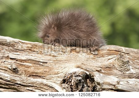 Baby porcupine with its nose touching the log it is walking on
