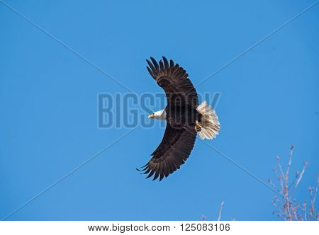 Bald eagle soars through the air spread winged