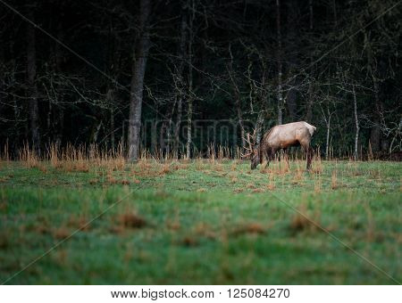 Bull Elk Eating Grass in Early Spring in Cataloochee Valley