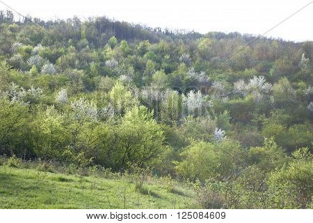 Panoramic view of beautiful spring blossoming trees in sunny mnorning mountian landscape