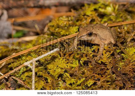 A Northern Spring Peeper found during the spring amphibian migration.